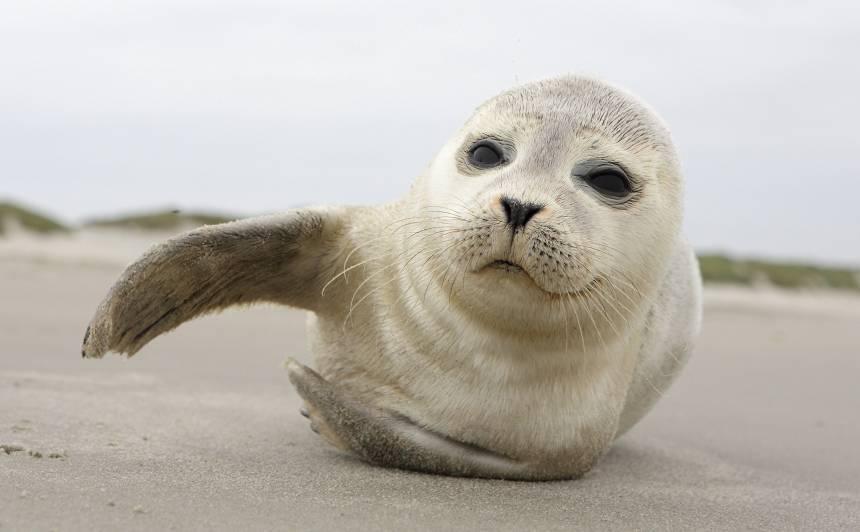 Nedēļas nogalē saņemti 200 zvani par roņu mazuļiem liedagā, <strong>daudzi suņu sakosti</strong>