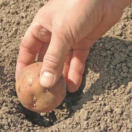 Kā visagrāk tikt <strong>pie jaunajiem kartupeļiem?</strong>
