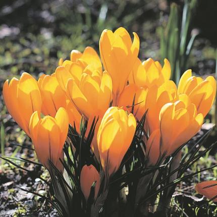 Agrīnais pavasara vēstnesis — <strong>krokuss</strong>