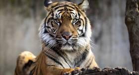 Ņujorkas zoodārza tīģerim <strong>pozitīvs <em>Covid-19</em> testa rezultāts</strong>