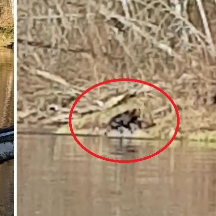 VIDEO: Makšķerējot Līgatnē, <strong>vīriešus pārsteidz no upes izniris lācis</strong>