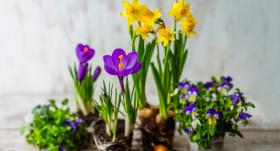 <strong>Pavasara puķes podos:</strong> izvēle un kopšana