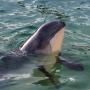 Baltijas jūrai raksturīgais cūkdelfīns