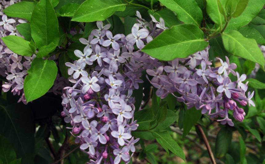 6 ārstniecības augi, <strong>kas jāievāc vasaras sākumā</strong>