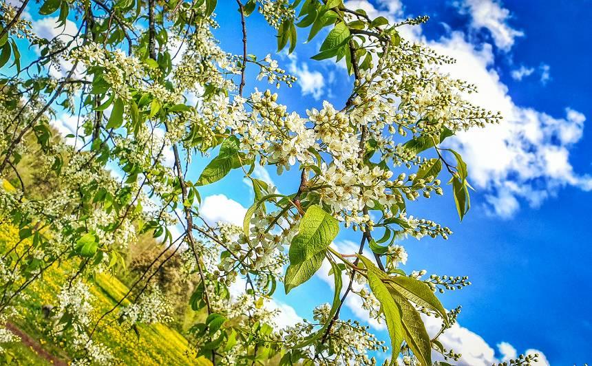 FOTO: Izveidots pārgājienu maršruts <strong><em>Zied ievas Gaujas senielejā</em></strong>