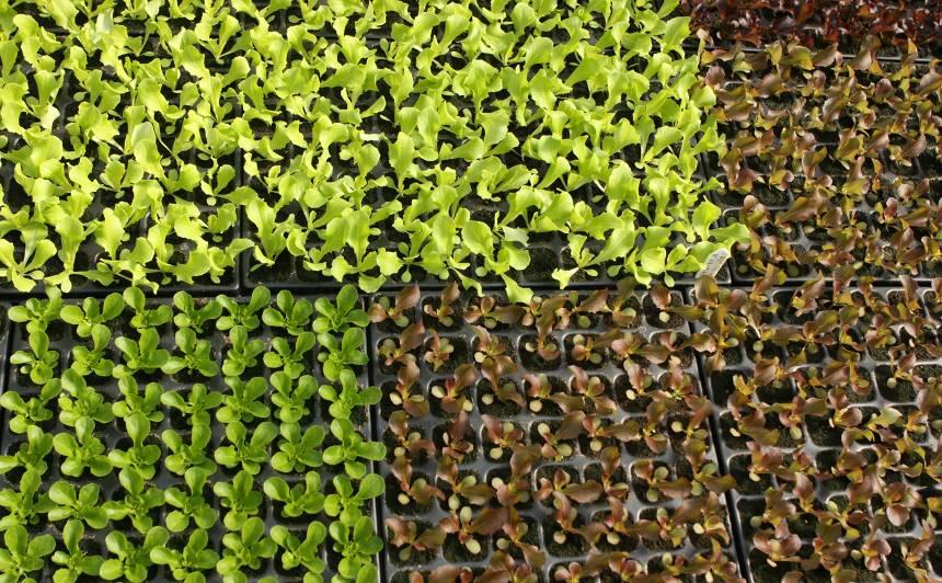 Lutini salātus, <strong>un tie lutinās tevi!</strong>