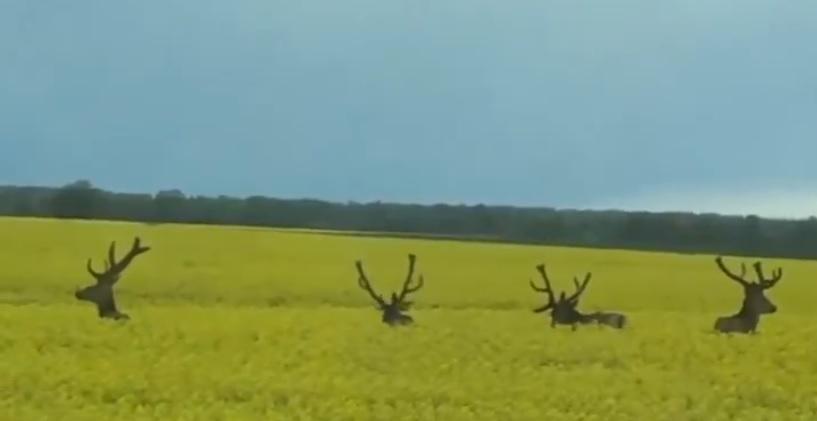 VIDEO: Traktoristu rapšu laukā <strong>pārsteidz briežu ģimene</strong>