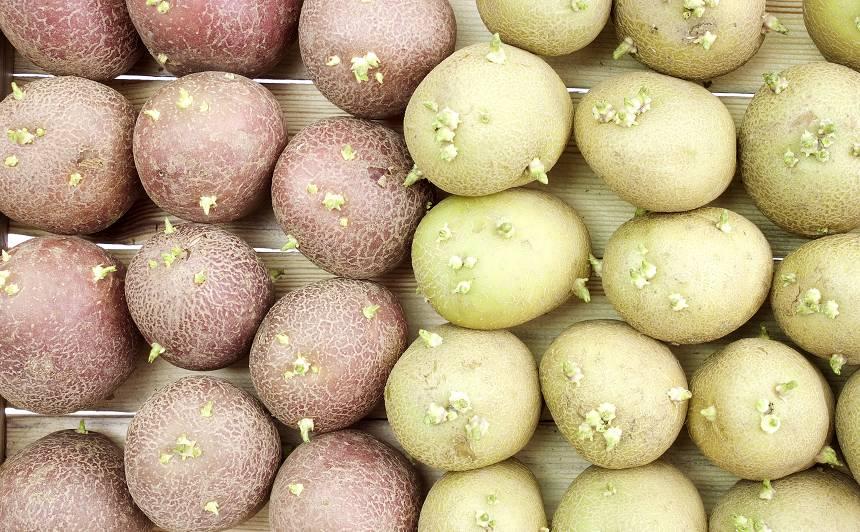 <strong>Laiks modināt</strong> kartupeli