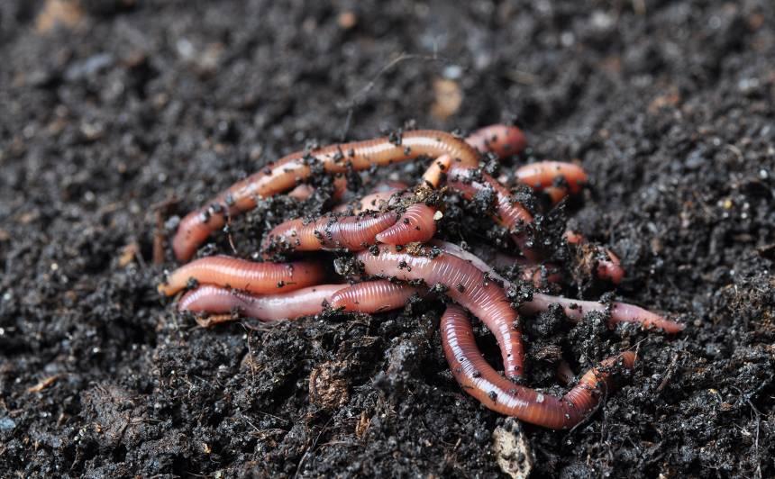 Augu ēdienkartē – <strong>vermikomposts</strong>