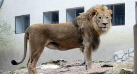 Āfrikas lauva Rīgas Zoodārzā