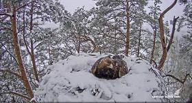 VIDEO: Sasnigušais sniegs <strong>pārsteidzis Latvijā ligzdojošo klinšu ērgļu ģimeni</strong>