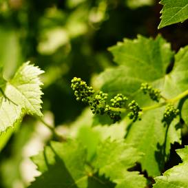 <strong>Kā piemānīt</strong> vīnogu?