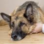 Latvijā izplatās ērču izraisītā <strong>nāvējošā suņu slimība babezioze</strong>