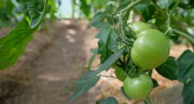 Lai tavi tomāti <strong>augtu griezdamies</strong>