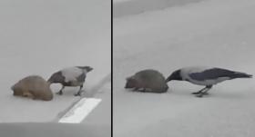 VIDEO: Ogrē apzinīga <strong>vārna palīdz ezītim droši šķērsot ielu</strong>