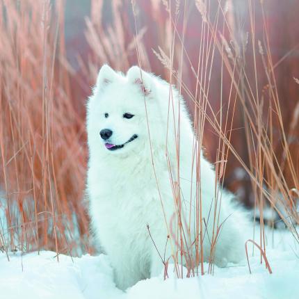 <strong>Mūžam smaidīgais baltais draugs      —     </strong> samojeds