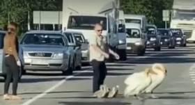 VIDEO: Jelgavas apkaimē šoseju šķērsojoša <strong>gulbju ģimene izraisa sastrēgumu</strong>