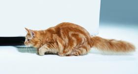 Kāpēc kaķi pirms uzbrukuma <strong>šūpo dibenu?</strong>