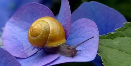 Mazie dārza riebekļi — gliemeži. <strong>Kā tos apkarot?</strong>