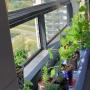 19. stāva eksperiments — uzņēmēja Baiba Rubesa <strong>uz palodzes audzē tomātus un gurķus</strong>
