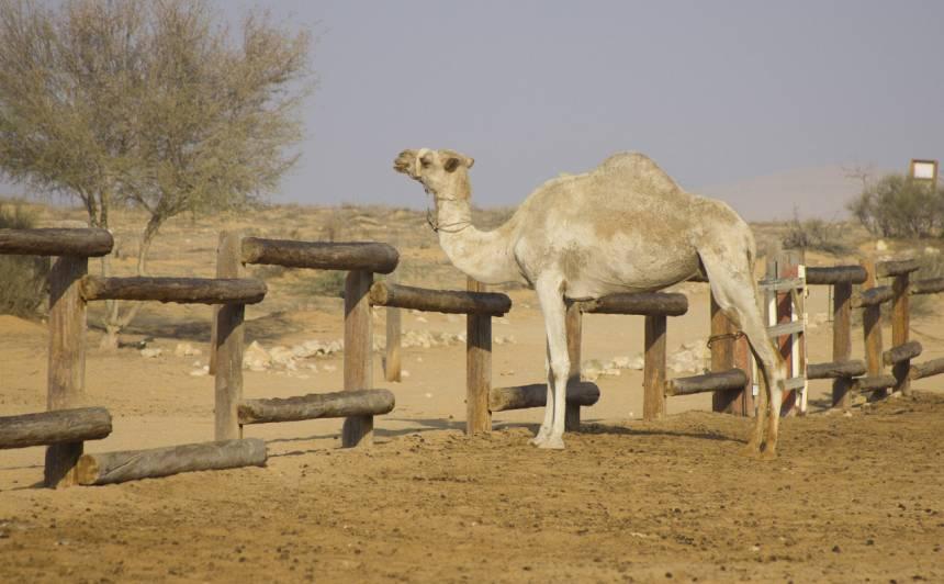 Kuprainis, kas redzams pa autores guļamistabas logu. Negava tuksneša vidū var palikt gan pa nakti, gan izjāt ar kamieļiem, gan iegādāties kamieļmātes piena krēmu.