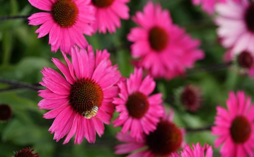 'Sensation Pink'