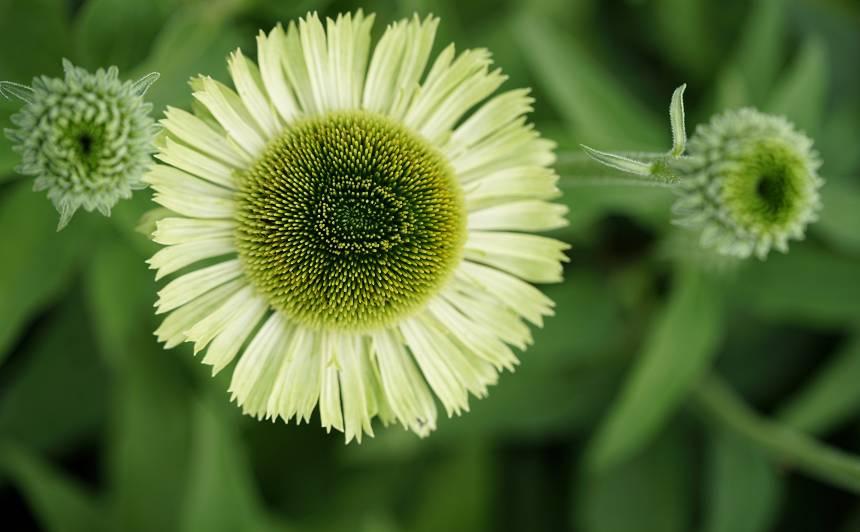 'Green Jewel'