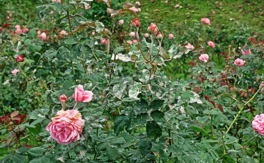 Rožu miltrasa jeb īstā miltrasa