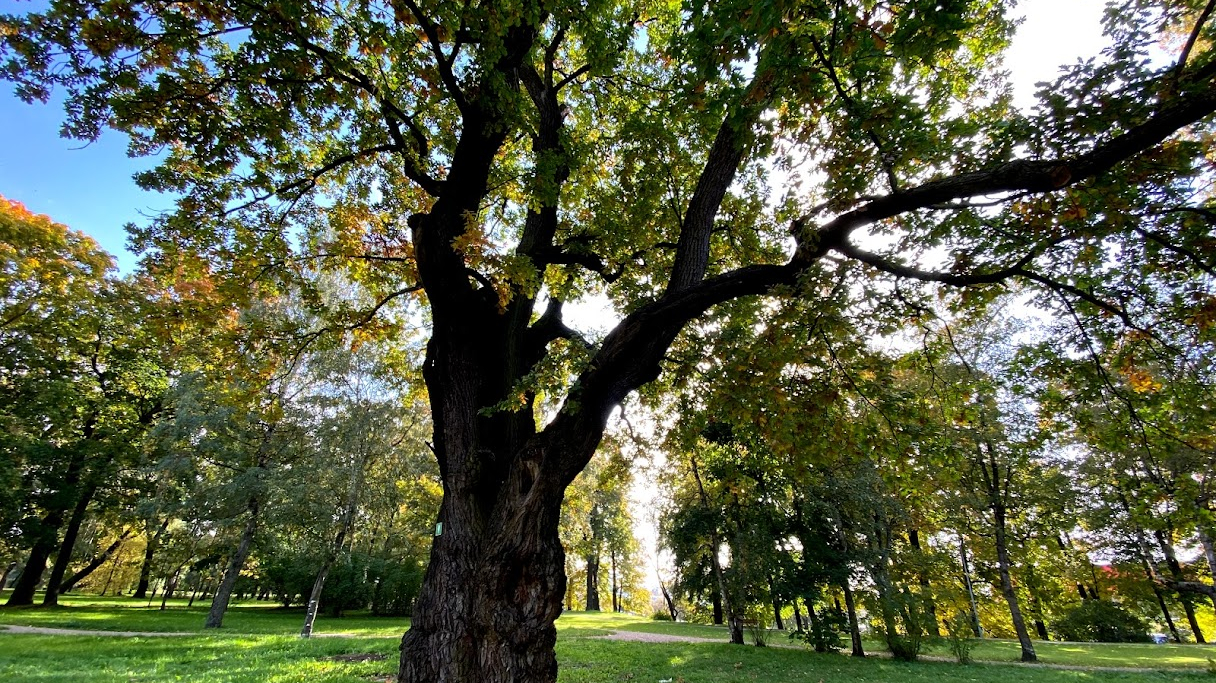 Ozolaines parka centrā aug parka simbols – dižozols.